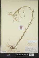 Borodinia missouriensis image
