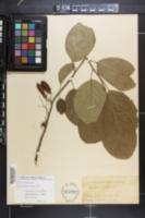 Halesia diptera image