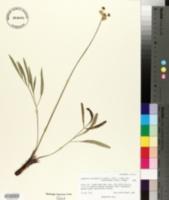 Lomatium simplex var. simplex image