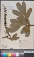 Pilocarpus pennatifolius image