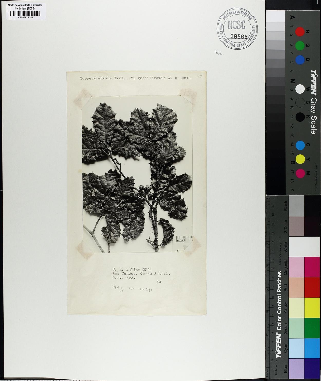 Quercus errans image