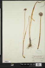 Allium schoenoprasum image