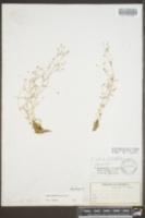 Image of Sagina fontinalis
