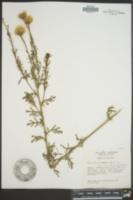 Adenophyllum porophyllum image