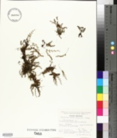 Image of Pleopeltis fallax
