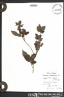 Vaccinium erythrocarpum image