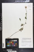Eurybia surculosa image