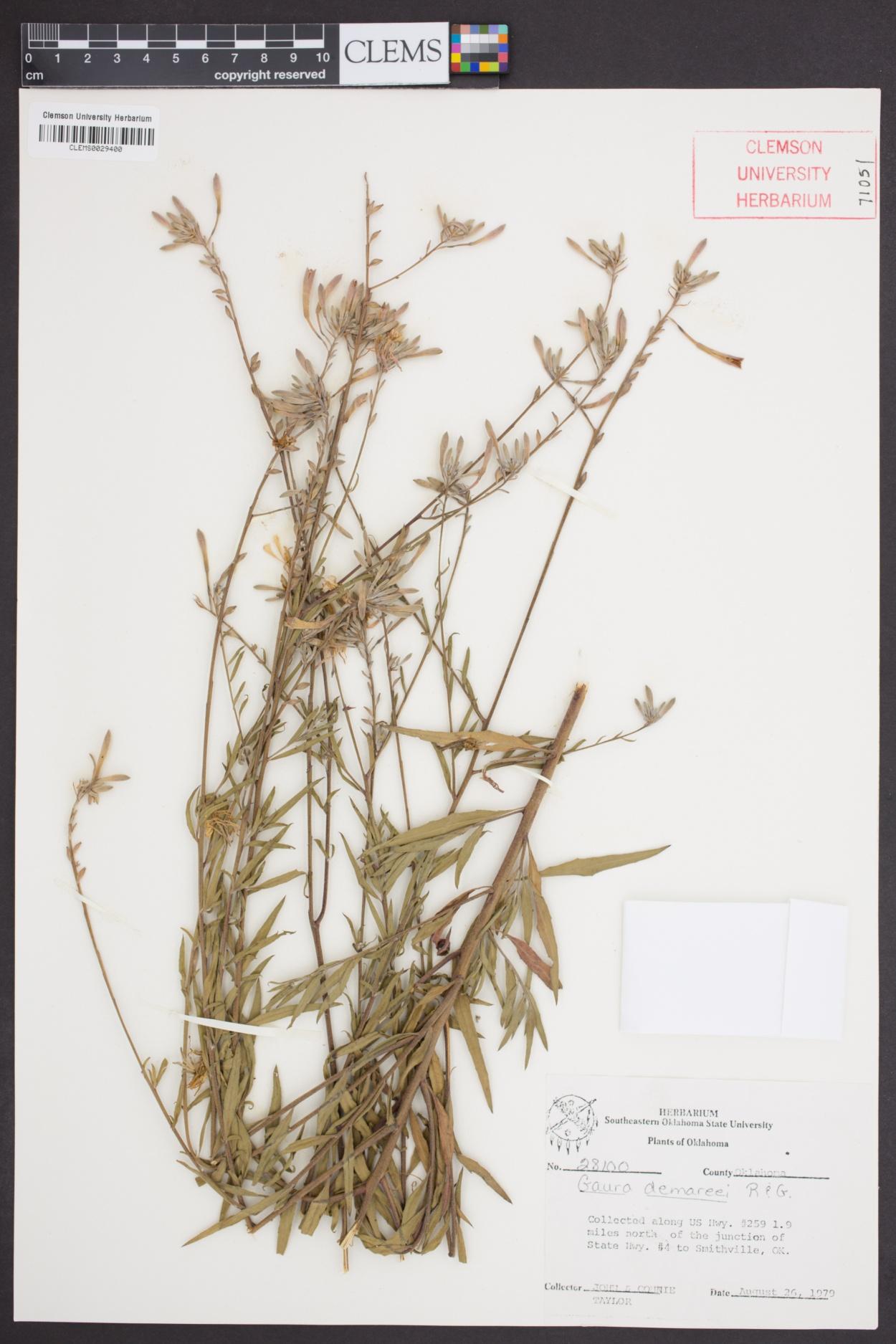 Oenothera demareei image