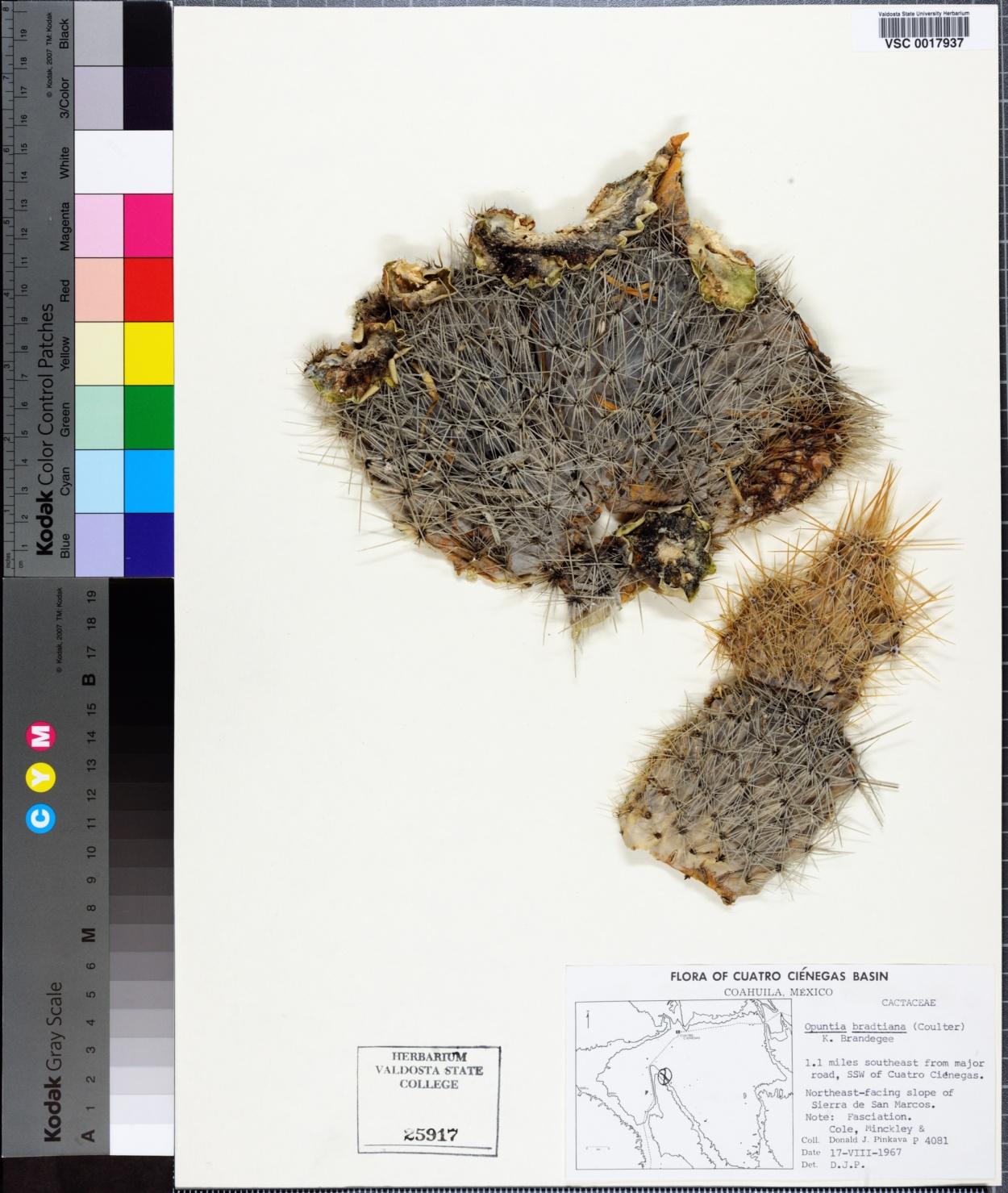 Opuntia bradtiana image