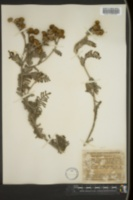 Image of Tanacetum camphoratum