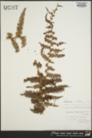 Image of Gleichenia brevipubis