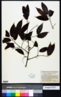 Image of Ulmus mexicana