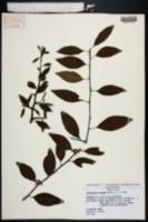 Sideroxylon thornei image