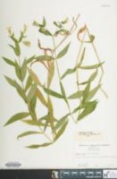 Image of Silene nivea