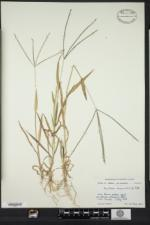 Digitaria sanguinalis image