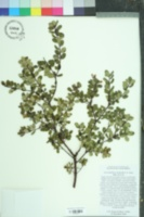 Image of Arctostaphylos nummularia