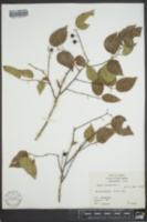 Celtis occidentalis image