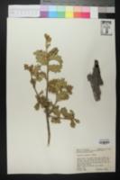 Quercus pungens image