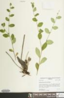 Image of Lithospermum tuberosum