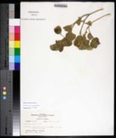 Physalis cinerascens image