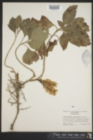 Pachysandra procumbens image