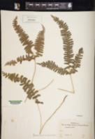 Image of Lindsaea lobata