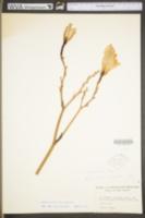 Hemerocallis lilioasphodelus image