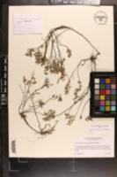 Image of Crocanthemum georgianum