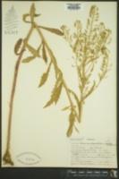 Image of Roripa curvisiliqua