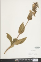 Penstemon canescens image