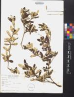 Croton discolor image