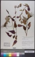 Symphyotrichum anomalum image