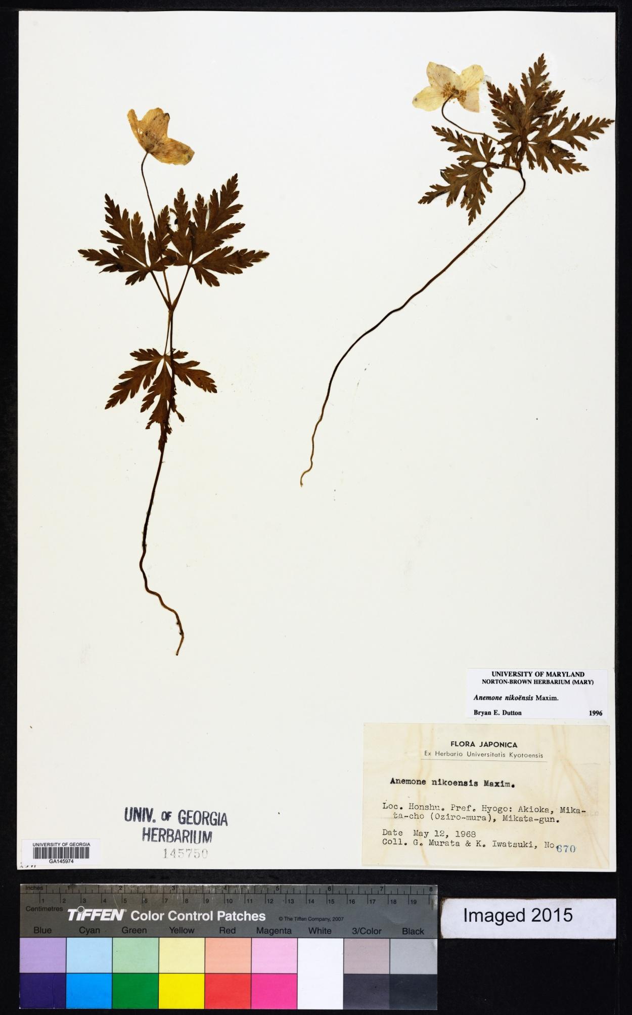 Anemone nikoensis image