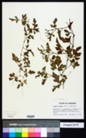Image of Cayratia trifolia