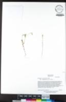 Githopsis pulchella subsp. serpentinicola image