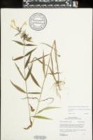 Phlox glaberrima image