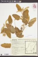 Solanum houstonii image