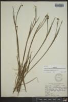 Sisyrinchium angustifolium image