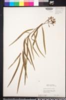 Geijera parviflora image