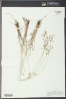 Fimbristylis dichotoma image