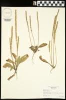 Plantago virginica image