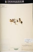 Image of Lemmaphyllum carnosum