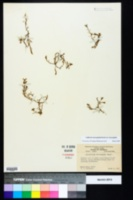 Callitriche heterophylla image