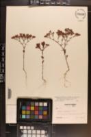 Paronychia fastigiata var. nuttallii image