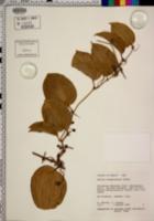 Smilax sandwicensis image