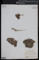 Selaginella cinerascens image