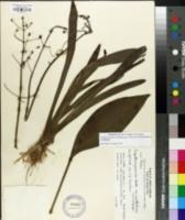 Sagittaria graminea image