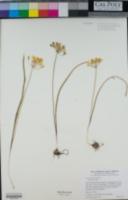 Triteleia montana image