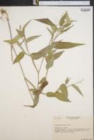 Image of Panicum boscii