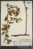 Image of Rubus concameratus